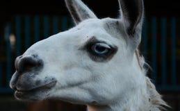 Lama bianca con gli occhi azzurri nello zoo Fotografia Stock Libera da Diritti