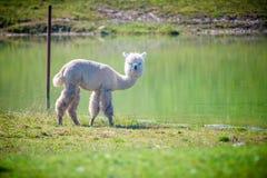 Lama bianca dell'alpaga che guarda diritto Fotografie Stock Libere da Diritti