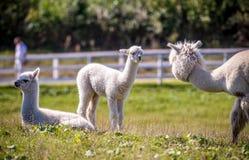 Lama bianca dell'alpaga in un gruppo Fotografia Stock Libera da Diritti