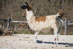 Lama bianca e marrone Fotografia Stock