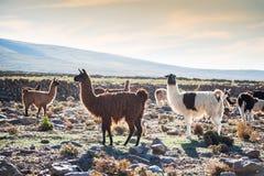 Lama bianca e marrone in Altiplano, Bolivia fotografia stock