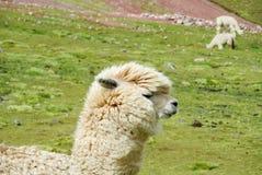 Lama bianca su fienarola dei prati verde Immagini Stock Libere da Diritti