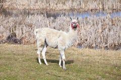 Lama bianca su un pascolo naturale Immagini Stock Libere da Diritti