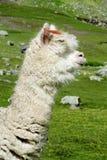 Lama bianca sul prato verde Immagini Stock