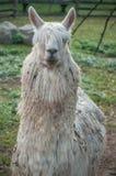 Lama bianca in un'azienda agricola Immagine Stock