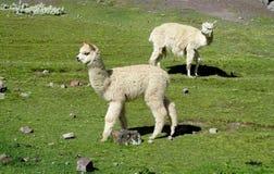 Lama bianchi su fienarola dei prati verde Fotografia Stock