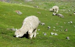 Lama bianco che mangia erba Fotografia Stock