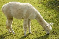 Lama bianco che mangia erba Fotografia Stock Libera da Diritti