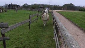 Lama bieg w padoku zdjęcie wideo