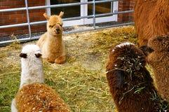 Lama bij dierentuin Royalty-vrije Stock Foto's