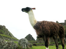 Lama bij terrassen en oude huizen Machu Picchu Royalty-vrije Stock Foto