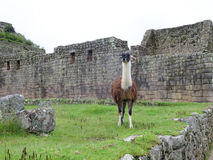 Lama bij terrassen en oude huizen Machu Picchu Royalty-vrije Stock Fotografie