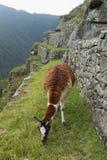 Lama bij Verloren Stad van Machu Picchu, Peru Royalty-vrije Stock Foto