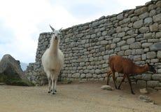 Lama bij Verloren Stad van Machu Picchu, Peru Royalty-vrije Stock Afbeeldingen