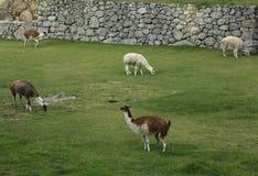 Lama bij Verloren Stad van Machu Picchu, Peru Royalty-vrije Stock Fotografie