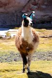 Lama on the black laguna. Blanca in the Salar de Uyuni desert, Bolivia stock images