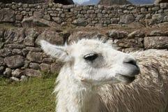 Lama blanc Photographie stock