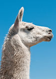 Lama blanc Photos stock