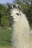 Lama, blanc Photos libres de droits