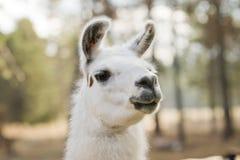 Lama blanc avec le fond brouillé Photographie stock libre de droits