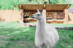 Lama blanc ay le yard images libres de droits