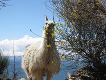 Lama blanc haut sur une île Photographie stock libre de droits