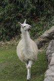 Lama blanc naturel sur les ruines de Machu Picchu photos libres de droits