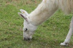 Lama blanc naturel sur les ruines de Machu Picchu photo stock