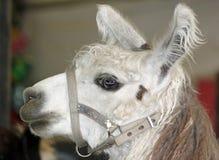 Lama blanc pelucheux à la foire photo libre de droits