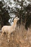 Lama blanc vigilant avec des oreilles dans la vue de profil, production hirsute douce de laine d'alpaga images libres de droits