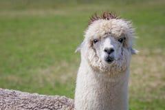 Lama-Blick Stockbilder