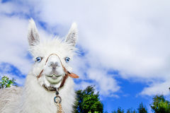 Lama with blue skyes and clowds Stock Photography
