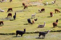 Lama in Bolivië Stock Fotografie