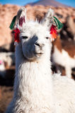 Lama in Bolivia. White Lama in Bolivia with colorful earrings stock images