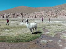 Lama Bolivia nature Incas sun. A lama enjoying the sun Royalty Free Stock Images