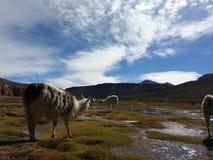 Lama in boliviano Altiplano immagine stock