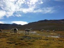 Lama in boliviano Altiplano Fotografie Stock Libere da Diritti