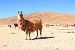 Lama bolivien image stock