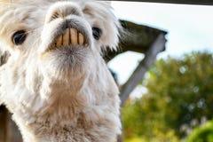 Lama branca de vista engra?ada de sorriso ador?vel com os dentes anteriors grandes que olham ao redor dentro de um rancho pequeno fotos de stock