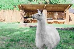 Lama branco ay a jarda Imagens de Stock Royalty Free