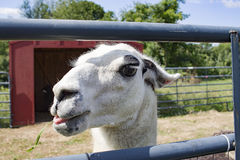 Lama branco que come a grama atrás da porta Fotografia de Stock Royalty Free