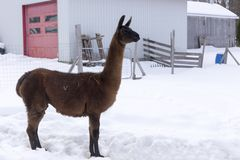 Lama brun grand se tenant fièrement dans le profil dans le stylo clôturé photographie stock