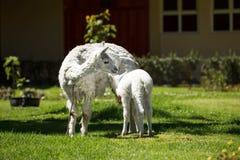 Lama che alimenta il suo cucciolo bianco con latte Immagini Stock Libere da Diritti
