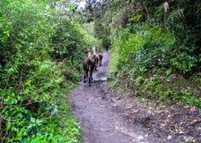 Lama che corrono su Inca Trail a Machu Picchu Il Perù, nessuna gente Fotografia Stock Libera da Diritti