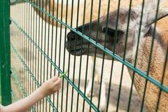 Lama che mangia dalla mano di un ragazzo Fotografia Stock