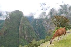 Lama che mangia a Machu Pichu Perù Fotografia Stock