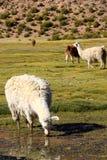 Lama che mangia nella terra della palude della Bolivia Immagine Stock Libera da Diritti