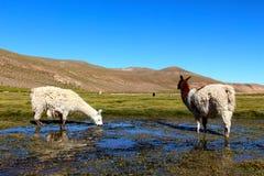 Lama che mangia nella terra della palude della Bolivia Immagini Stock