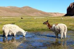 Lama che mangia nella terra della palude della Bolivia Fotografie Stock Libere da Diritti
