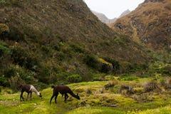Lama che mangiano erba verde sulle Ande lungo Inca Trail Nessuna gente Immagini Stock
